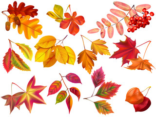 Autumn leaf. Maple fall leaves, fallen foliage and autumnal nature leafage realistic vector set