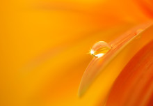 Water Drop On Orange Flower Pe...