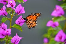Monarch Butterfly On Pink Boug...