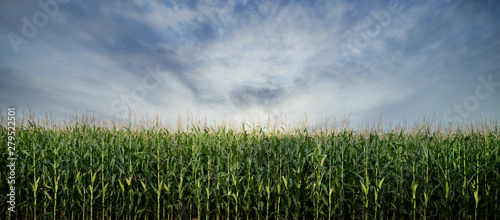 Vászonkép Corn Field ready to be Harvested