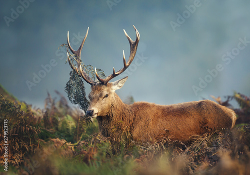 Poster Cerf Red deer stag during rutting season on a misty autumn morning