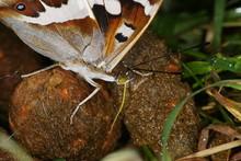 Apatura Iris (LINNAEUS, 1758) Großer Schillerfalter 03.07.2010 DE, Haan-Gruiten