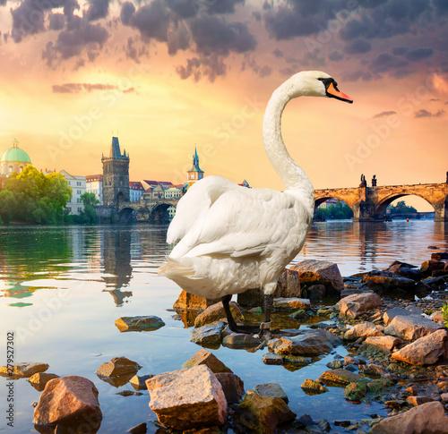 Obraz na plátně  White swan on river Vltava