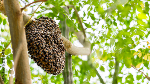 Recess Fitting Bee Honeycomb and bee or Apis florea on moringa tree and blur green leaves background.
