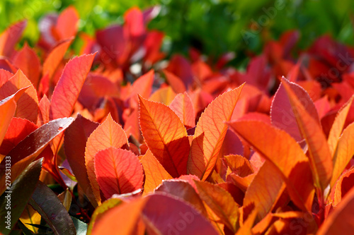 Bush evergreen plant Photinia with red leaves close-up, selective focus. - 279531333