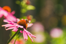 Butterfly On Coneflower Echina...