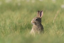 Young European Rabbit In The Nature Habitat. Oryctolagus Cuniculus. Wildlife Scene From Nature. Portrait Of A European Rabbit
