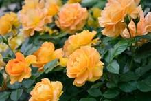 Delightful Orange Roses In The Garden Close-up