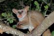 Leinwandbild Motiv Nocturnal greater galago or bushbaby (Otolemur crassicaudatus) eating tree gum, South Africa.