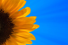 Sunflower, Blue Sky With Sunbe...