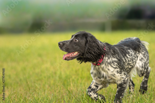 Proud Young proud english springer spaniel hunting dog on a meadow Wallpaper Mural