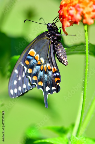 Close up of an Eastern Swallowtail (Papilio Glaucus) butterfly