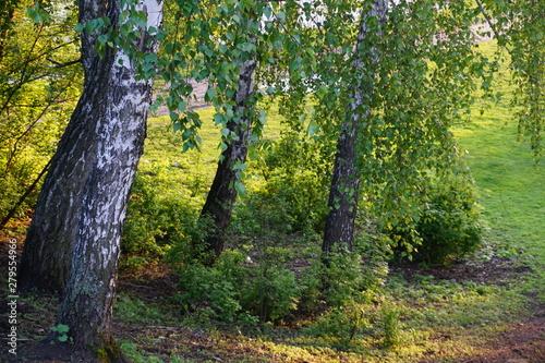 birch grove at sunset © Anastasia