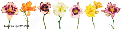 Big set of different color Daylily (Hemerocallis) flowers isolated on white background - 279557154