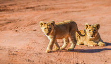 Cute And Adorable Brown Lion Cubs Running And Playing In A Game Reserve In Johannesburg South Africa