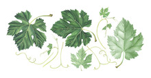 Set Of Grape Leaves Isolated O...