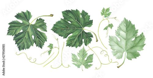 Fototapeta Set of grape leaves isolated on white. Hand drawn watercolor illustration. obraz