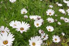 Cape Daisy Flowers Osteospermum