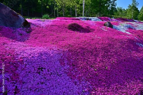 Poster Violet 満開のカラフルな芝桜咲く情景