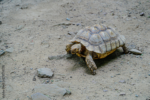 Poster Tortue Turtle crawling on the sand with stones.