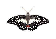 Image Of Lime Butterfly(Papilio Demoleus) Isolated On White Background. Insect. Animals.