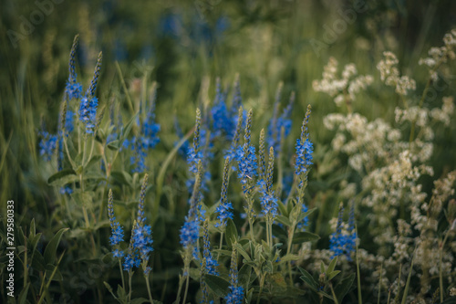 Fototapety, obrazy: blue cornflowers in the field