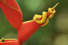 Eyelash Viper Yellow On Red Heliconia