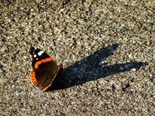 Vanessa Atalanta, The Red Admiral Butterfly Standing Alone On The Ground Watching His Own Shadow That Looks Like A Heart