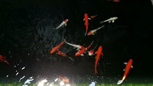 Beauty Of Carps Fish Or Koi Fish In Dark Cement Pool For Decorate Out Door