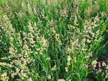 Flowering Summer Forage Grasse...
