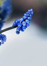 Spring Flowers. Blue Muscari F...