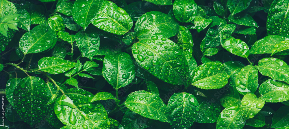 Fototapeta Nature green leaves with raindrop background texture