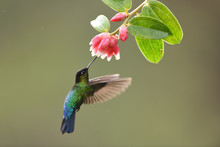 Fiery-throated Hummingbird Drinking Nectar From Red Flower