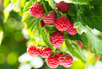 branch of ripe raspberries ...
