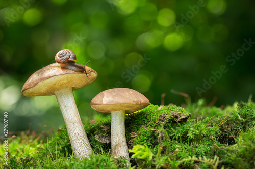 Edible mushrooms in a forest Tablou Canvas