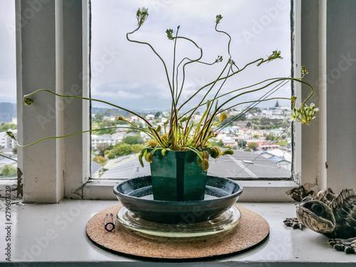 Photo Venus flytrap (Dionaea muscipula), carnivorous plant
