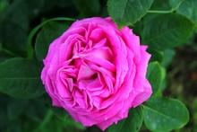 Pink Garden Rose Scented