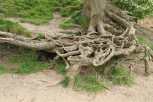 The Soil Eroded Exposed Roots Of A Riverside Tree.