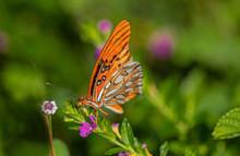Gulf Fritillary Butterfly On Mexican Heather Flower, Seminole, Florida