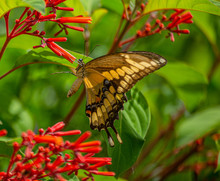 Giant Swallowtail Butterfly At Firebush Flowers, Seminole, Florida