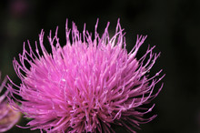 Beautiful Flower Of Purple Thistle. Pink Flowers Of Burdock. Burdock Thorny Flower Close-up. Flowering Thistle Or Milk Thistle. Herbaceous Plants - Milk Thistles, Carduus. Shallow Depth Of Field