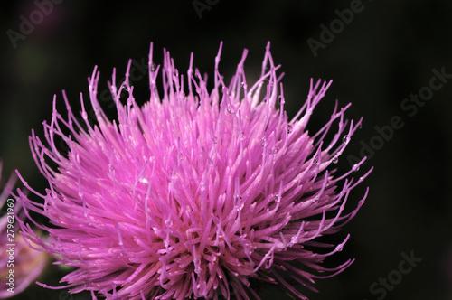 Fotografia Beautiful flower of purple thistle