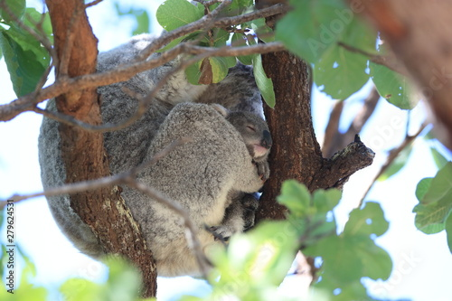 Canvas Prints Koala A baby koala and mother sitting in a gum tree on Magnetic Island, Queensland Australia