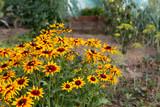 Fototapeta Kawa jest smaczna - yellow rudbeckia summer flowers in garden