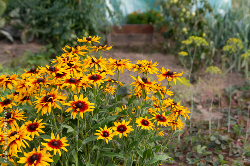 yellow rudbeckia summer flowers in garden