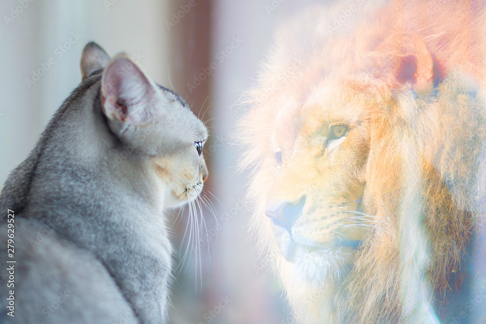 Fototapeta Cat looking at mirror and sees itself as a lion. Self esteem or desire concept.