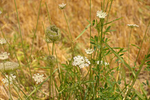 Daucus Carota Plant On The Border Of A Field In Bavaria, Wild Carrot Or Birds Nest Or Bishops Lace Or Queen Annes Lace Plant In July