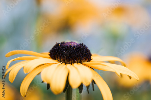 Fotografering BlackEyed Susan