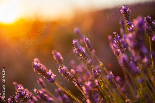 Photo  Lavender flowers at sunset in Provence, France
