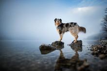 Australian Shepherd Is Standing At A Rock In A Lake. Beautiful Dog In Amazing Landscape.